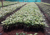 Agricultura Familiar começa a ser beneficiada com a distribuição de mudas de café clonal pela Secretaria de Agricultura